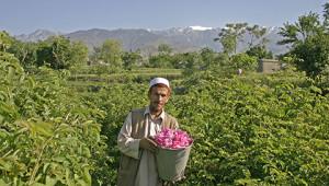 Dr. Hauschka Ätherisches Rosenöl aus Afghanistan