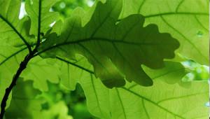 Eiche - Quercus robur