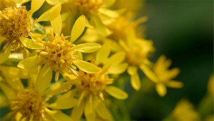 Goldrute - Solidago virgaurea