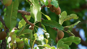Sheabaum - Butyrospermum parkii