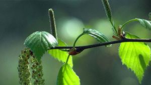 Birke - Betula pendula
