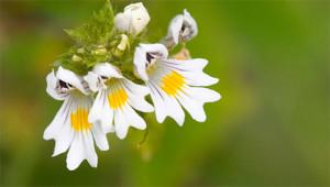 Augentrost - Euphrasia officinalis
