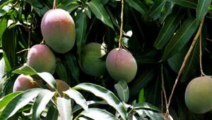 Dr. Hauschka Mangobutter aus Indien