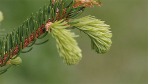 Fichte - Picea abies