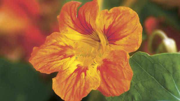 Kapuzinerkresse – Heilpflanze von Dr.Hauschka