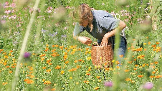 Dr.Hauschka Heilpflanzengarten: während der Ringelblumen-Ernte