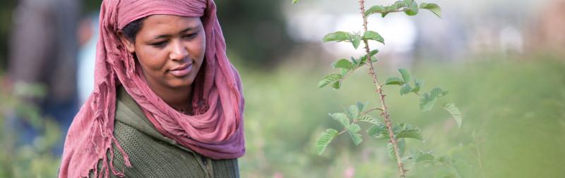 Dr.Hauschka Bio-Rohstoffe aus aller Welt - hier Rosen aus Äthiopien